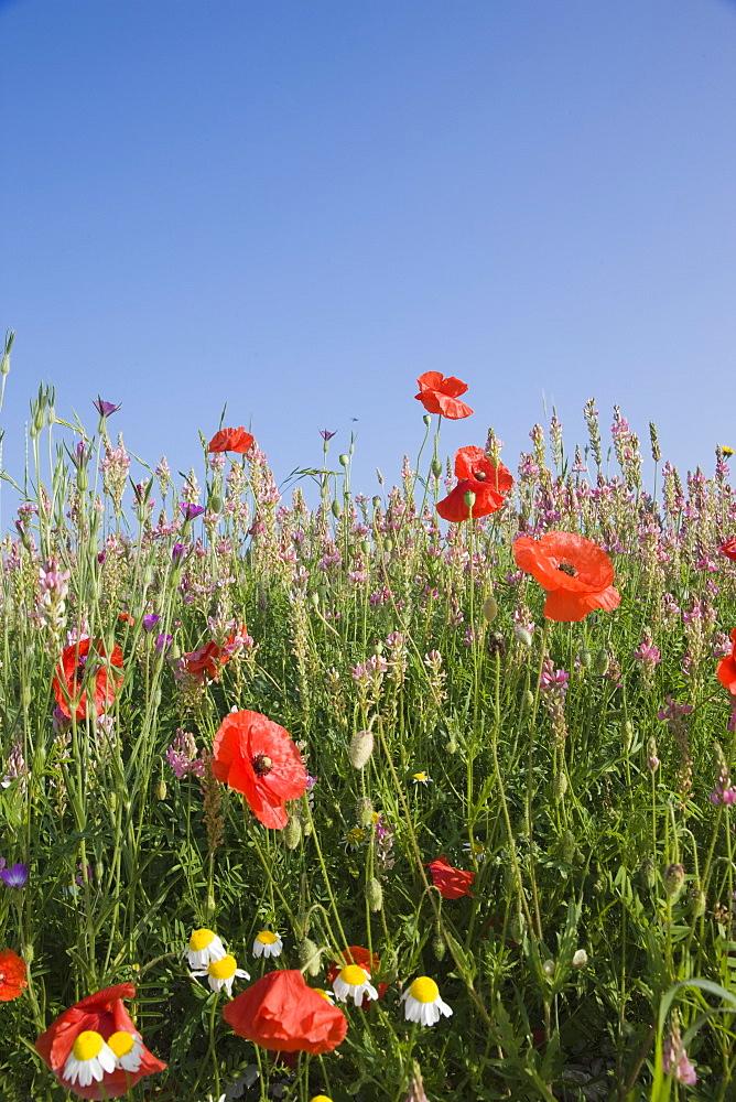 Wild flowers, Highland of Castelluccio di Norcia, Norcia, Umbria, Italy, Europe