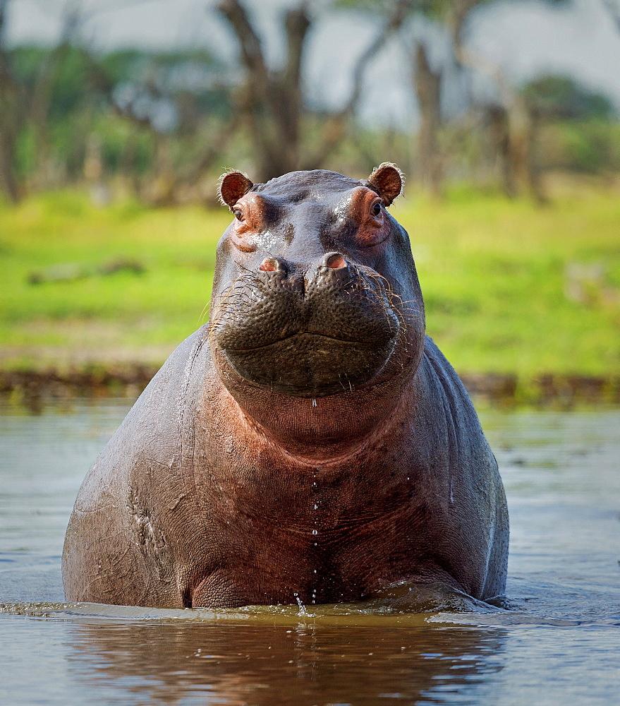 Hippopotamus, Okavango Delta, Botswana, Africa *** Local Caption *** curves adjustments, medium vignette