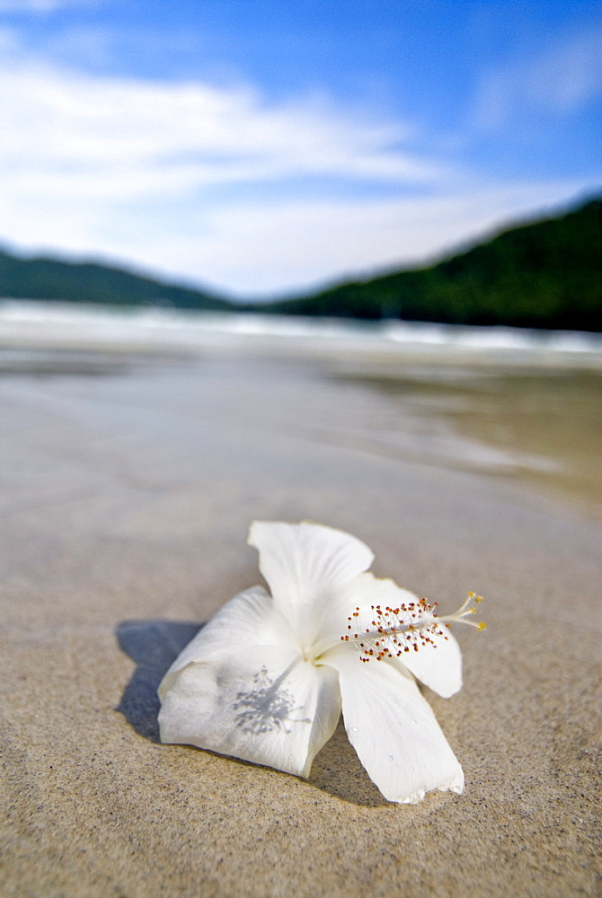 Hibiscus flower on beach, Perhentian islands, Malaysia, Southeast Asia, Asia - 784-248