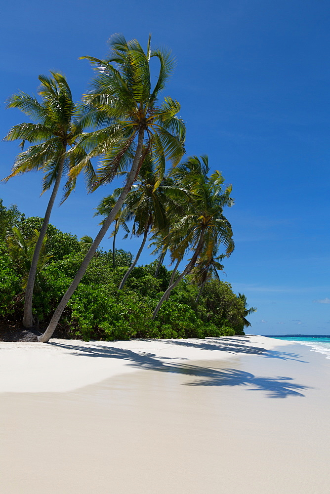 Palm trees on a beautiful deserted beach on an island in the Northern Huvadhu Atoll, Maldives, Indian Ocean, Asia