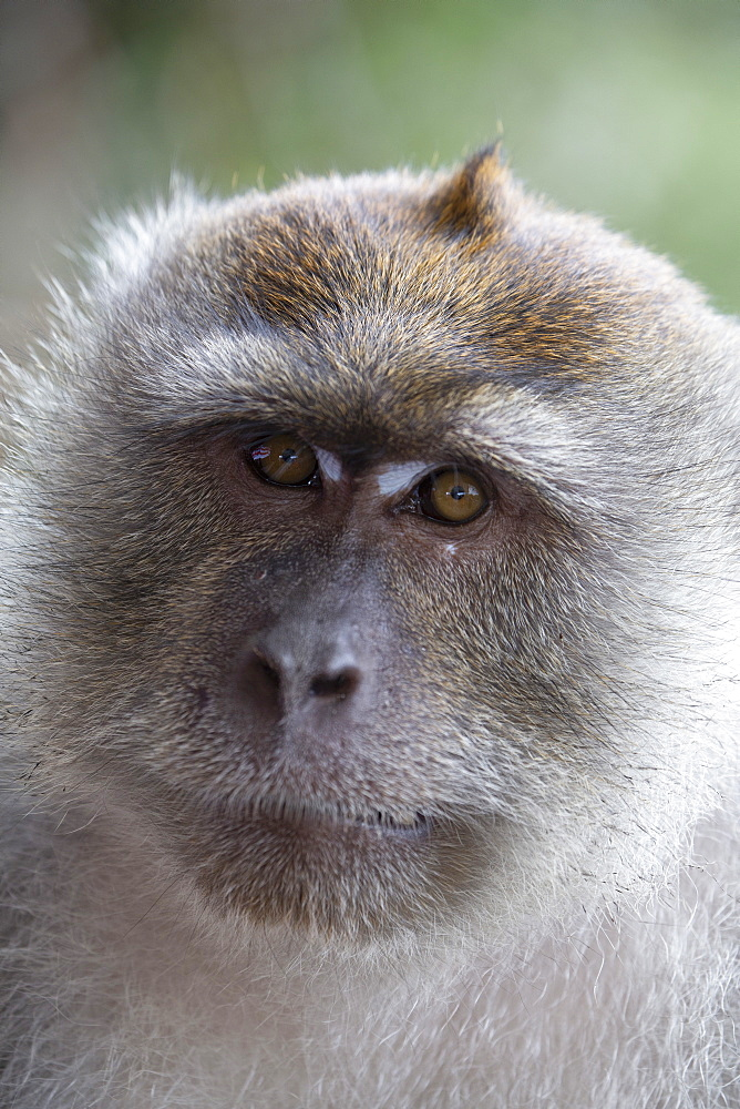 Close-up of a macaque monkey in the rain forest in Langkawi