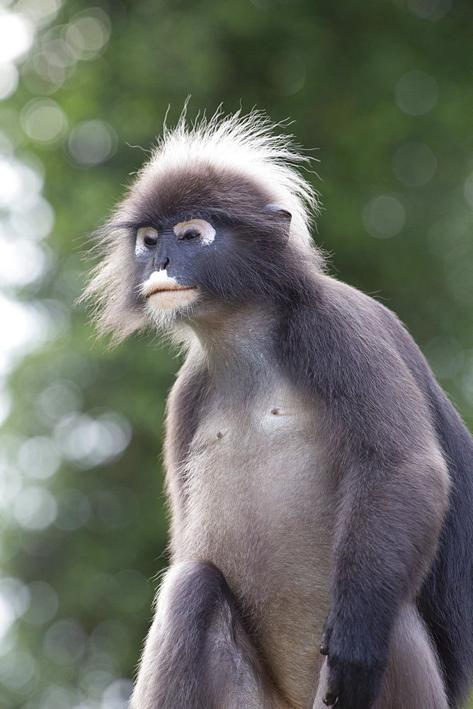 A dusky leaf monkey, (spectacled langur, dusky langur) in Langkawi rainforest