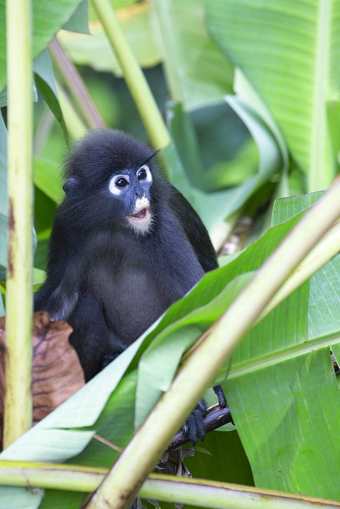 A young dusky leaf monkey, (spectacled langur, dusky langur) in Langkawi rainforest - 785-2410