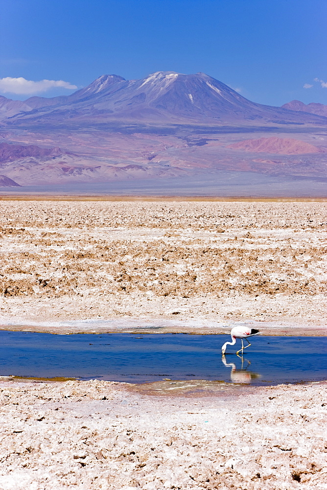 Flamingo breeding site, Laguna Chaxa, Salar de Atacama, Atacama Desert, Norte Grande, Chile, South America