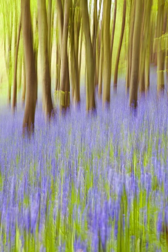 Bluebell woods, Somerset, England, United Kingdom, Europe - 794-892
