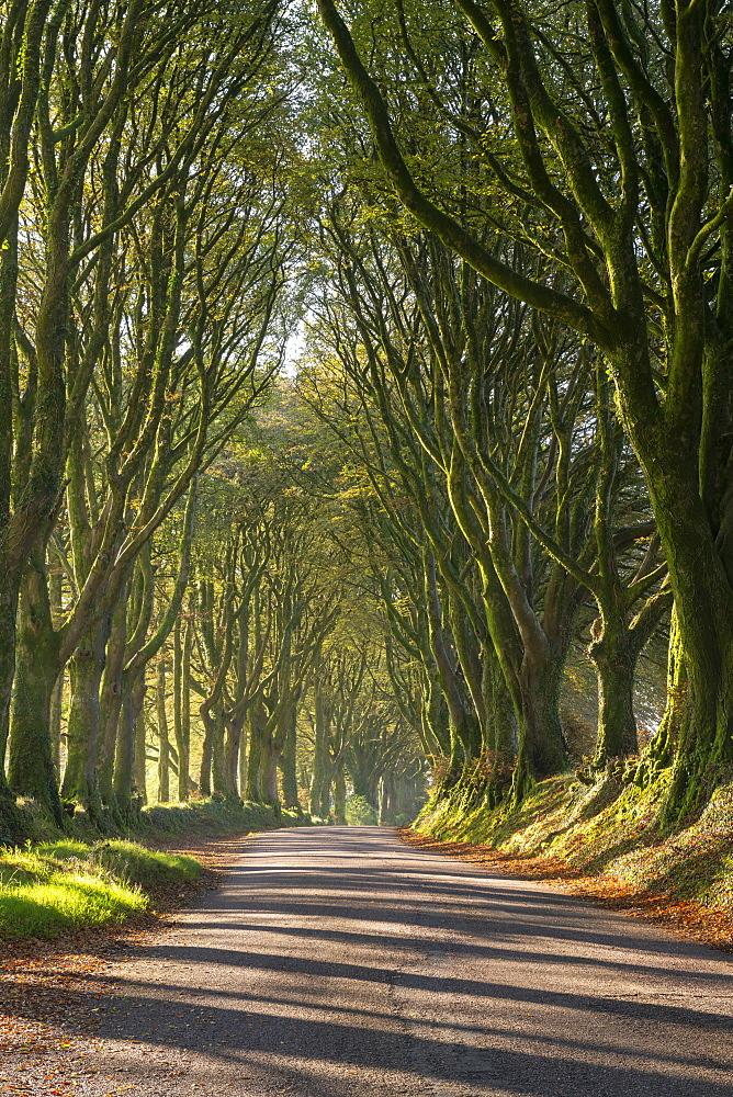 Tree lined lane on the edge of Dartmoor, Bridestowe, Devon, England. Autumn (September) 2019.