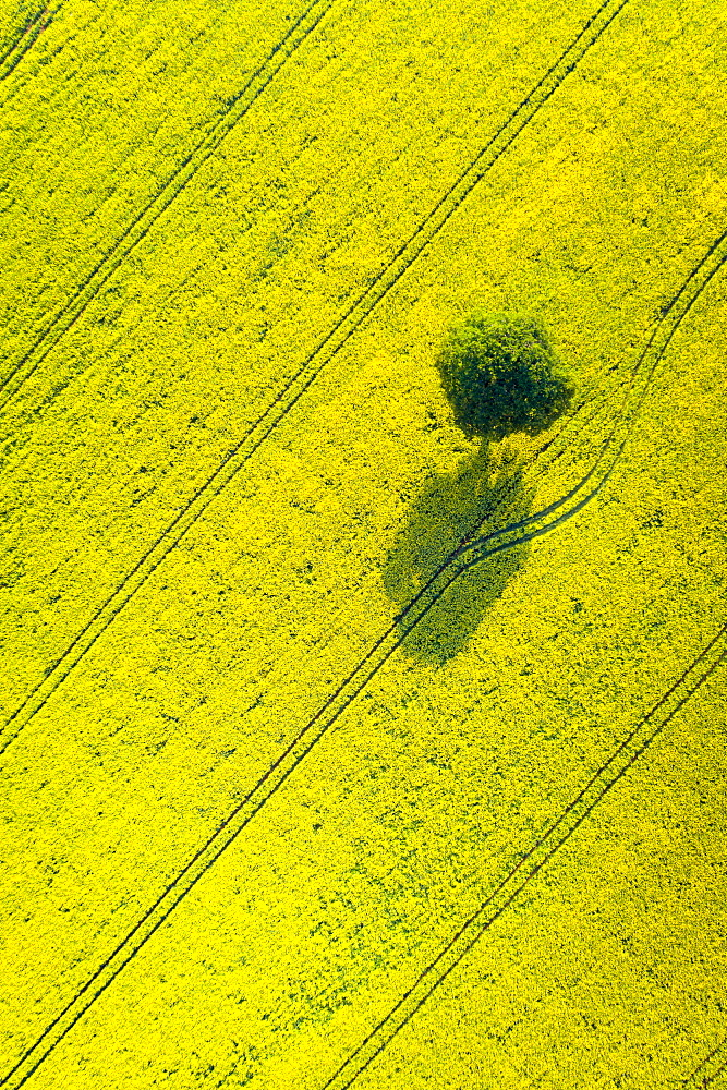 Lone tree in oil seed rape field, Devon, England, United Kingdom, Europe