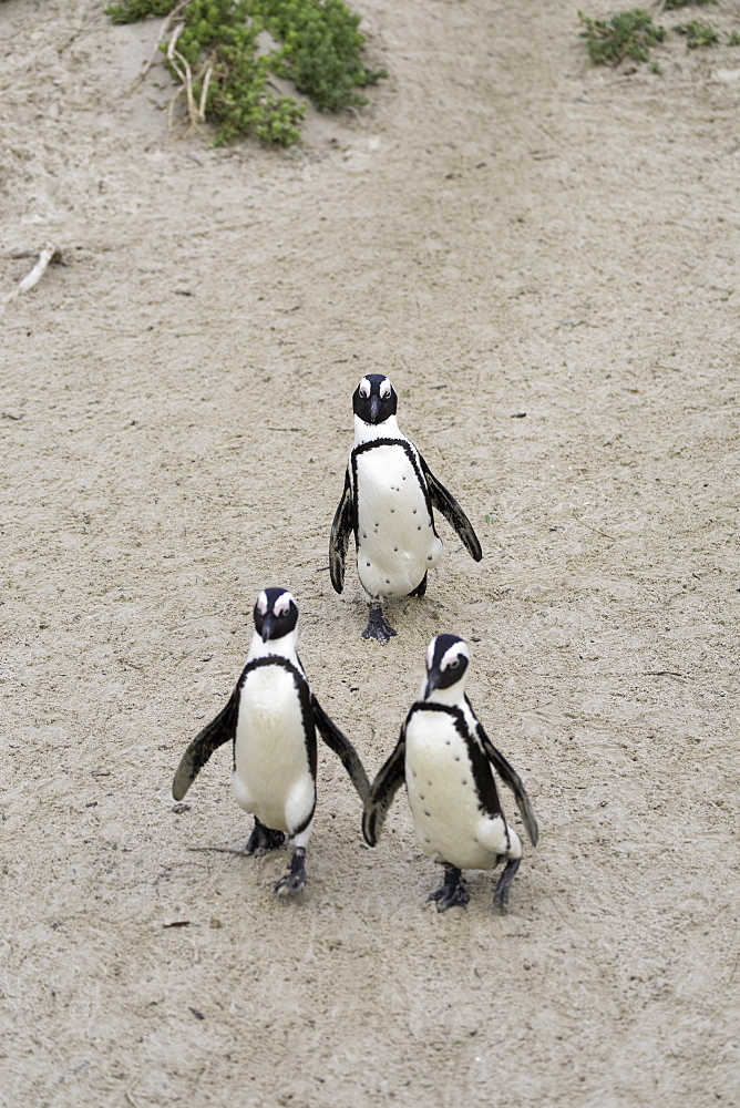 African penguins (Jackass penguins) on Boulders Beach, Simon???s Town, Cape Town, Western Cape, South Africa - 800-3203