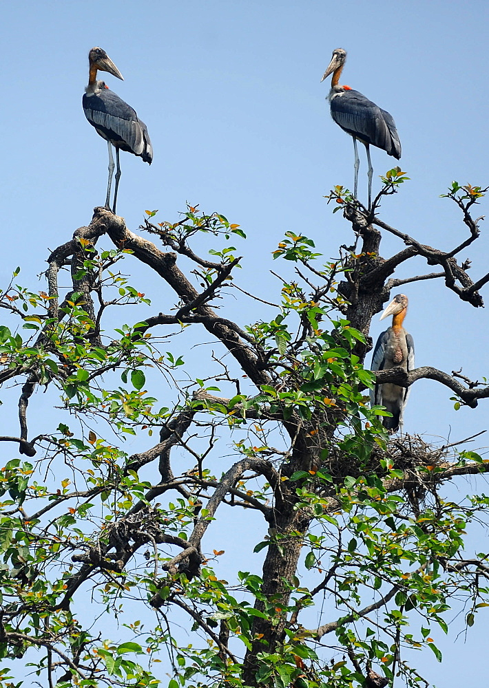 A group of rare Greater Adjutant storks, now an endangered species, perched high up in a tree, Hajo district, Assam