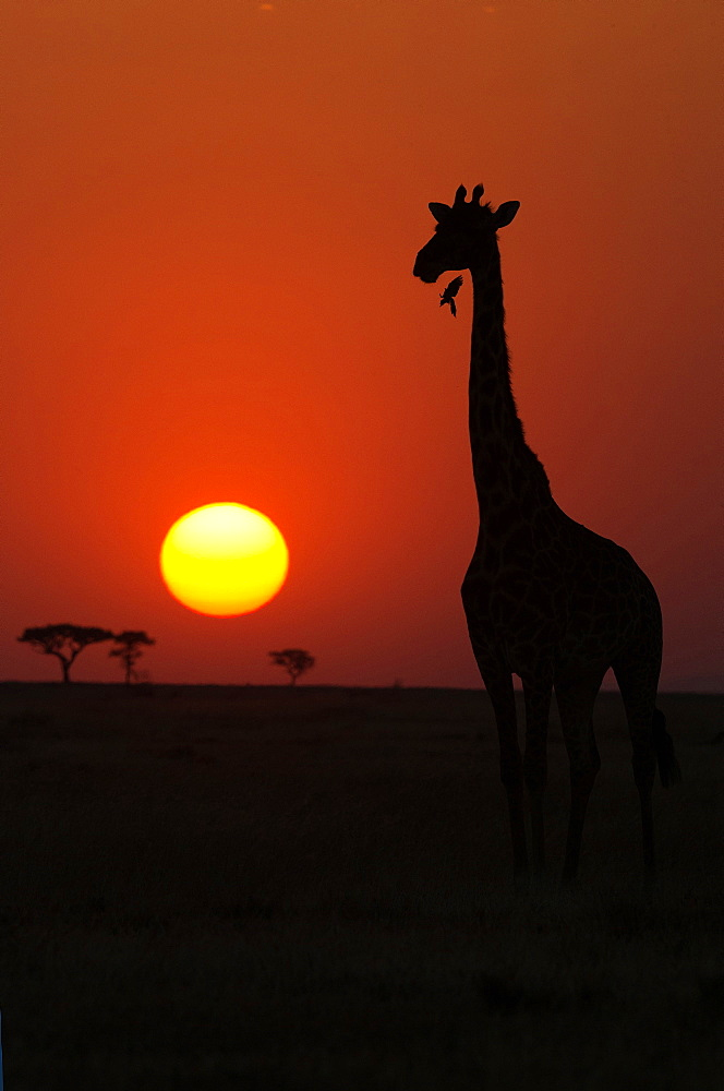 Silhouette of giraffe (Giraffa camelopardalis) at sunset, Serengeti National Park, Tanzania, East Africa, Africa