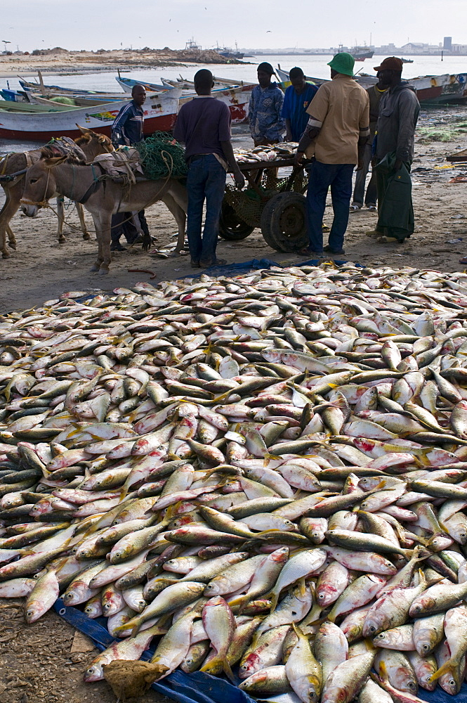 Fish for sale laid out on the ground at the fish market, Nouadhibou, Mauritania, Africa