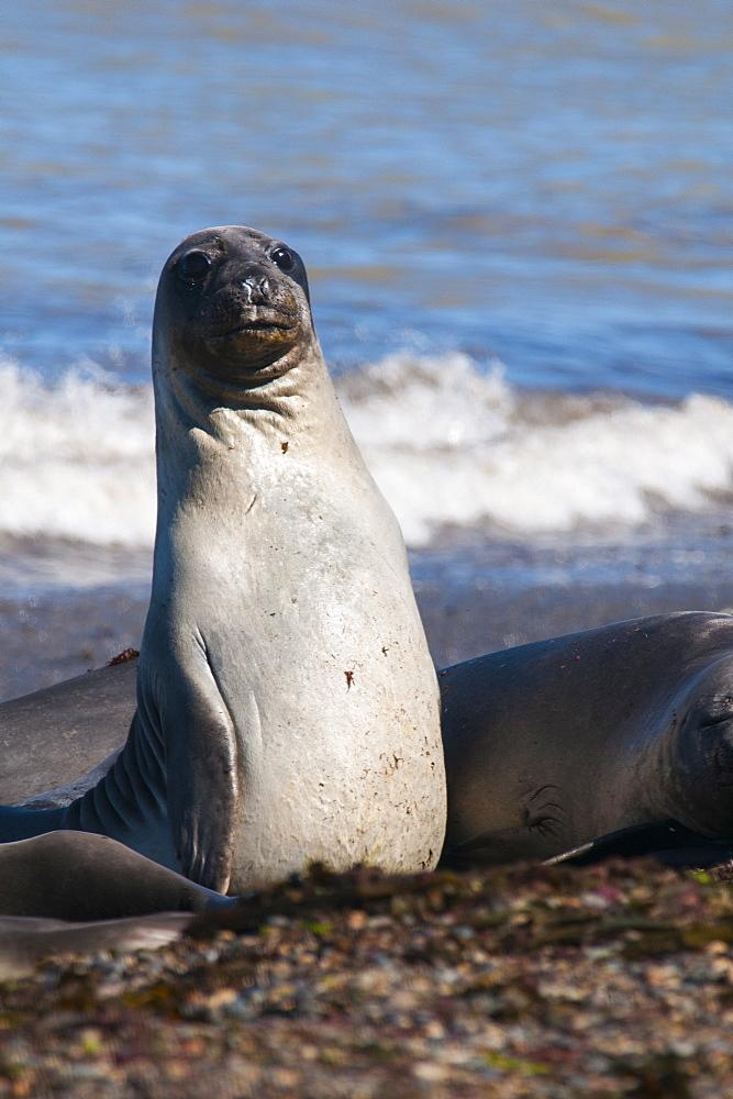 Elephant seals on Punta Ninfas, Chubut, Argentina, South America