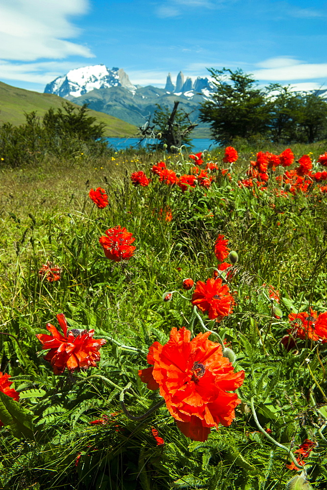 Blooming wild flowers in the Torres del Paine National Park, Patagonia, Chile, South America