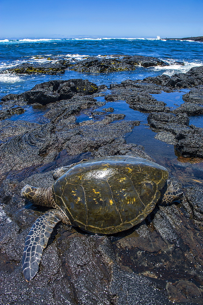 Sea turtle (Chelonioidea), Punaluu Black Sand Beach on Big Island, Hawaii, United States of America, Pacific