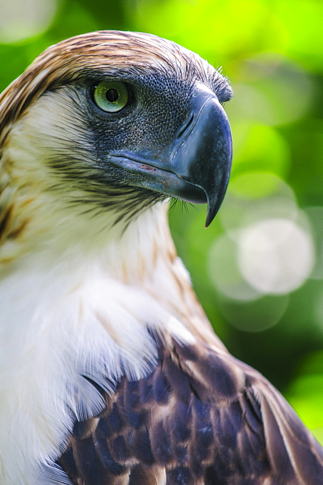 Philippine eagle (Pithecophaga jefferyi) (Monkey-eating eagle), Davao, Mindanao, Philippines, Southeast Asia, Asia