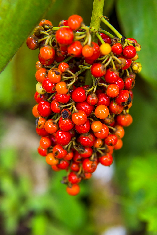 Close-up of red coffee berries (Rubiaceae) in the Botanic Garden of Bom Sucesso, Sao Tome, Sao Tome and Principe, Atlantic Ocean, Africa