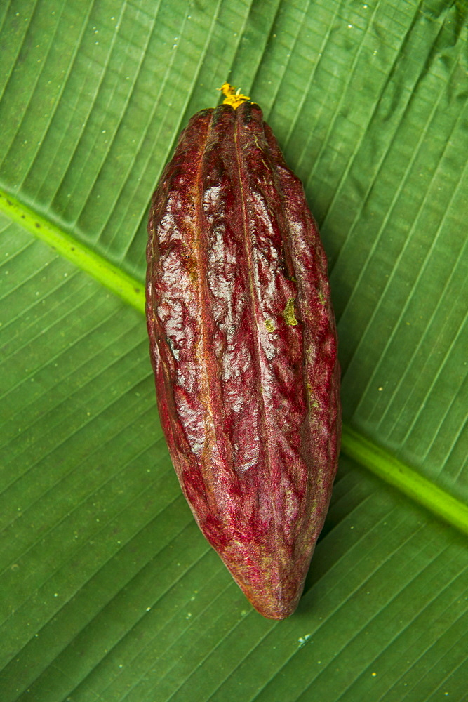 The cocoa bean (cacao bean) (Theobroma cacao), Plantation Roca Monte Cafe, Sao Tome, Sao Tome and Principe, Atlantic Ocean, Africa