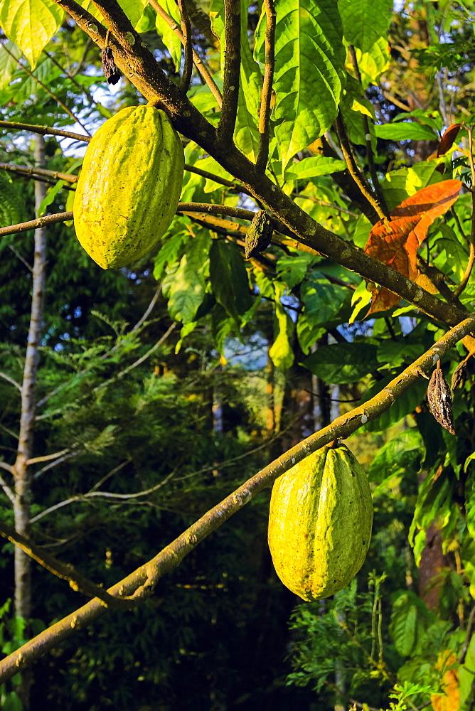 Green pods whose seeds are used to make chocolate, on a cocoa tree (Theobroma cacao), Muthuvankudi, Munnar, Kerala, India, Asia