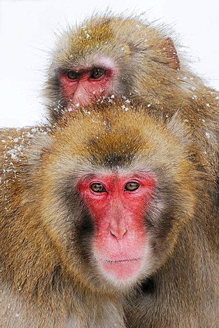 Japanese macaques (Macaca fuscata) in winter - 832-18982