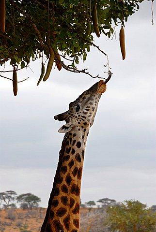 Giraffe (Giraffa camelopardalis) with long tongue feeds on Kigelia tree (Kigelia africana) in the savannah Tarangire National Park