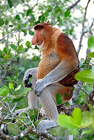 Male Proboscis monkey sits in mangrove forest Bako National Park Sarawak Borneo Malaysia