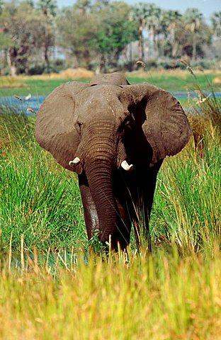 African Elephant, Moremi Game Reserve, Botswana / (Loxodonta africana)