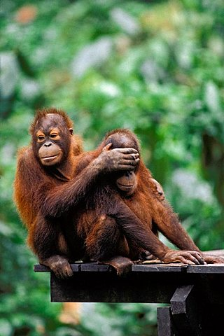 Young Orang Utans (Pongo pygmaeus) playing, Sepilok, Borneo, Asia