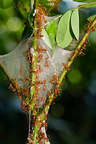 Weaver Ants (Oecophylla) in the rainforest, Havelock Island, Andaman Islands, India