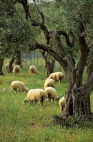 sheep feeding under olive trees, Samothraki island, Thrakia, Greece