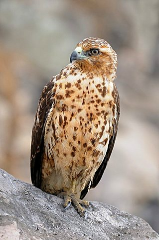 Galapagos Hawk (Buteo galapagoensis), the only day-active bird-of-prey of the Galapagos Islands, Espanola Island, Galapagos, Ecuador, South America
