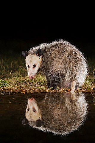 Virginia Opossum (Didelphis virginiana), adult at night drinking, Uvalde County, Hill Country, Central Texas,