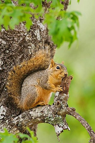 Eastern Fox Squirrel (Sciurus niger), adult on tree, Uvalde County, Hill Country, Central Texas, USA