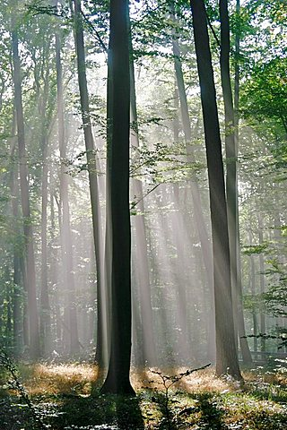 Sunbeams are crossing sideways in the foggy beech forest