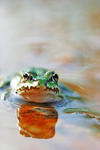 Green frog is sitinging in a puddle - 832-31625