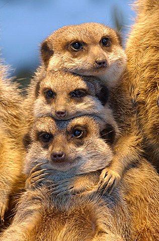 Meerkat (Suricata suricatta) - 832-32952