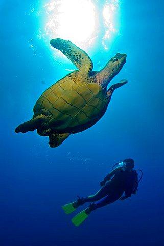 Hawksbill Turtle (Eretmochelys imbricata), Caribbean, Honduras, Central America
