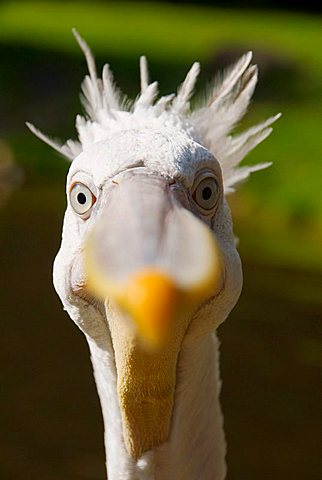 Dalmatian Pelican (Pelecanus crispus) is looking curiously into the camera