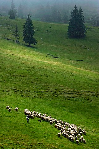 Sheep, Pesterii, Bihor Mountains, Parcul Natural Apuseni, Romania, Europe