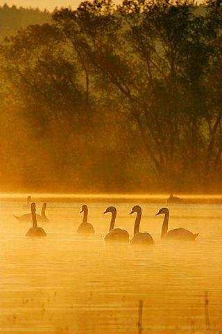 Mute Swans (Cygnus olor), Novy Dvur, Pilsen-North district, Western Bohemia, Czech Republic, Europe