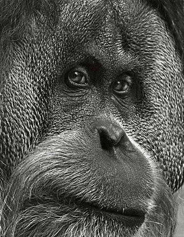 orang-utan (Pongo pygmaeus), black and white