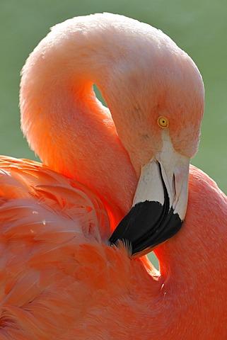 Chilean Flamingo (Phoenicopterus chilensis), preening