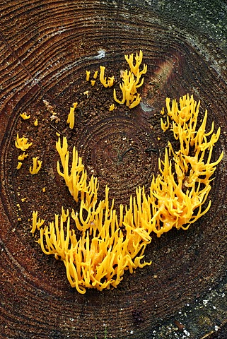 Yellow stagshorn fungus (Calocera viscosa)