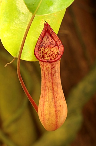 Pot to trap insects from a Pitcher Plant (Nepenthes), a carnivorous plant