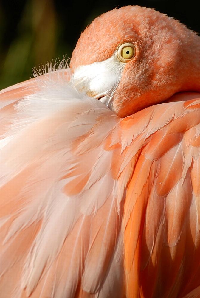 Caribbean Flamingo (Phoenicopterus ruber ruber), detail