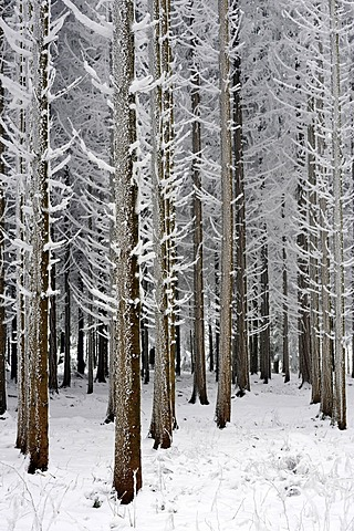 Coniferous forest covered with frost, Lindenberg, Switzerland, Europe