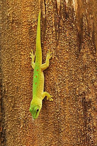 Madagascar day gecko (Phelsuma madagascariensis), hanging from tree