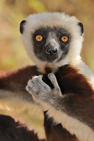 Coquerel's Sifaka (Propithecus coquereli), portrait, Madagascar, Africa