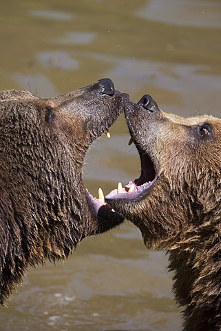 Brown Bears (Ursus arctos), Neuschoenau wildlife enclosure, Bavarian Forest, Bavaria, Germany, Europe, PublicGround