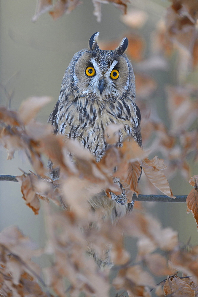 Long-eared owl (Asio otus) sitting on autumn coloured beech branch, Bohemian Forest, Czech Republic, Europe