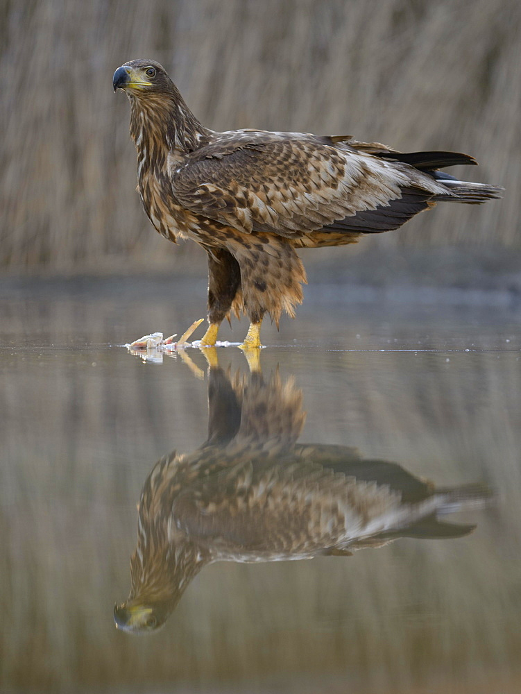 White-tailed eagle (Haliaeetus albicilla) standing on captured fish in shallow water, Kiskunsag National Park, Hungary, Europe - 832-378983